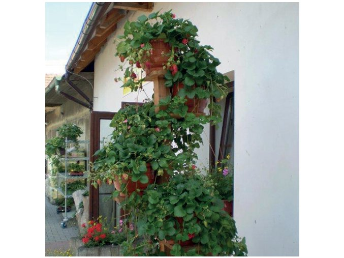 455 Fragoo Deep Rose